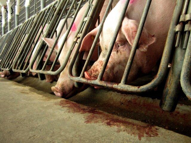 Бизнес план свинофермы: подробные расчеты