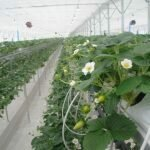Как выращивать клубнику в теплице и домашних условиях?